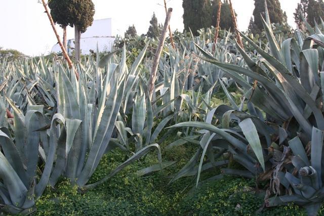 Alo vera voyages en tunisie - Ou trouver de l aloe vera en plante ...
